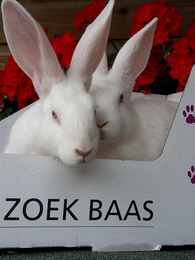 groep lauwersmeer konijnen 10 weken