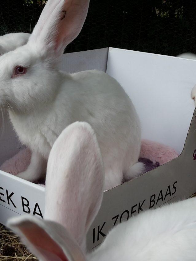 groep lauwersmeer konijnen 4 maand oud